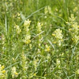 Der Klappertopf, ein Halbschmarotzer, wird auch Milchdieb genannt, weil die Weide wenig Nährwert besitzt