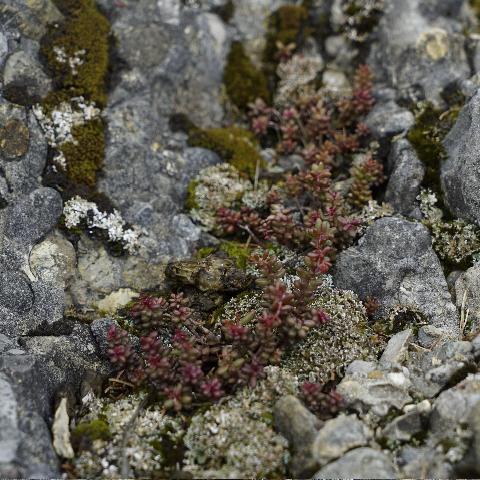Weisser Mauerpfeffer, Nahrungspflanze für die Raupen des Alpen-Apollos
