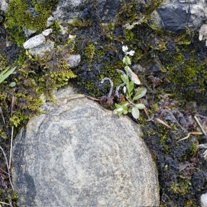 Eine zierliche Kreuzblume (Polygala amarella?)