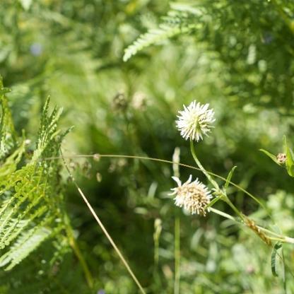 Berg-Klee, Trifolium montanum unter dem Adlerfarn