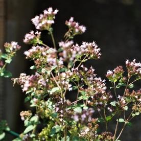 Dost (wilder Majoran, Origanum vulgare)