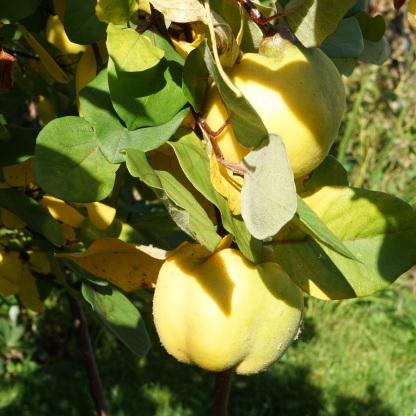 Apfel-Quitte
