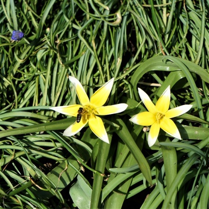 Wildtulpe Tulipa tarda