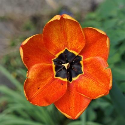 Darwin-Hybrid-Tulpe