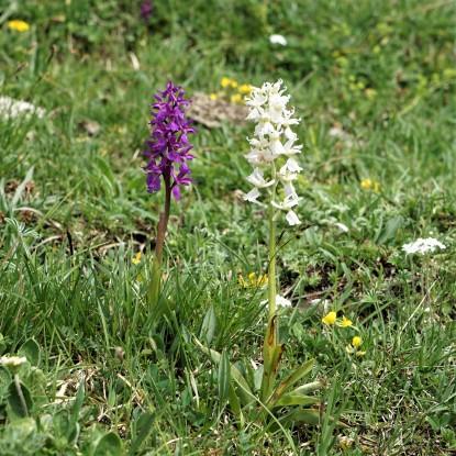 Orchis mascula Foto: ma.bi