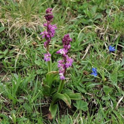 Orchis mascula (hybrid.?) Foto: ma.bi