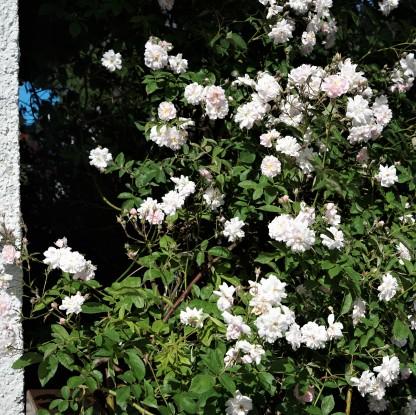 DSC04279 Ramblerrose Pauls Himalayan Musk (2)
