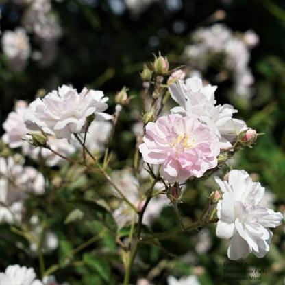 DSC04283 Ramblerrose Pauls Himalayan Musk