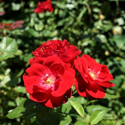 DSC04314 Rose Mariandl