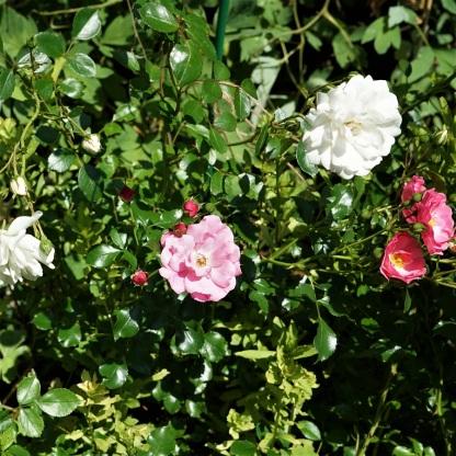 DSC04319 Rose Snowfield rosa und weiß (2)