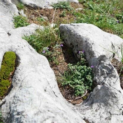 DSC04674 Acinus alpinus Alpen-Steinquendel (Saturei)