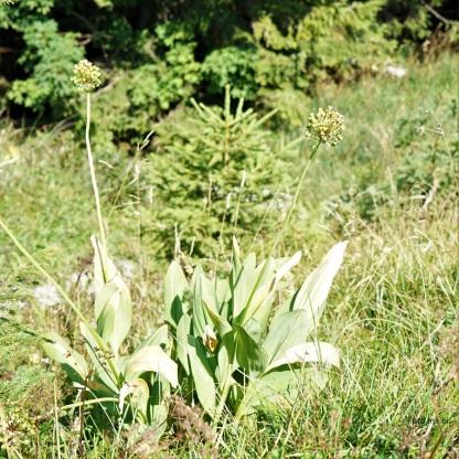 DSC04684 Allium victorialis Allermanns-harnisch Fruchtstand