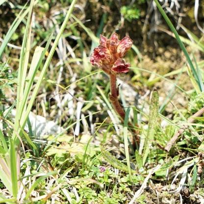 DSC04692 Orobanche gracilis Blutrote Sommerwurz