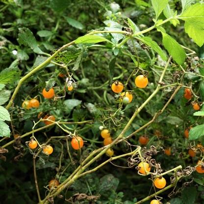Tomate Johannisbeere Orange