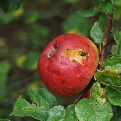 Apfel Prinz Albrecht von Preußen