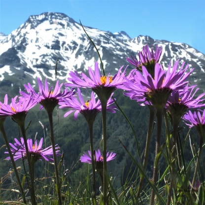 Alpenaster - Aster alpinus