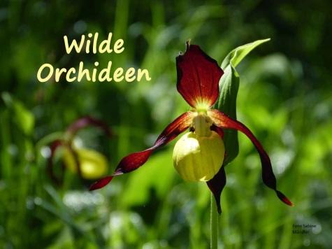 Orchideen Lechtal P1190637[8828] Sabine Mändler