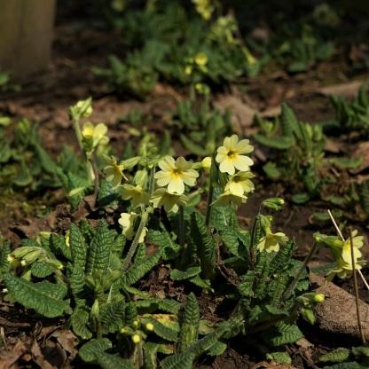 Himmelschlüssel (Primula eliator)