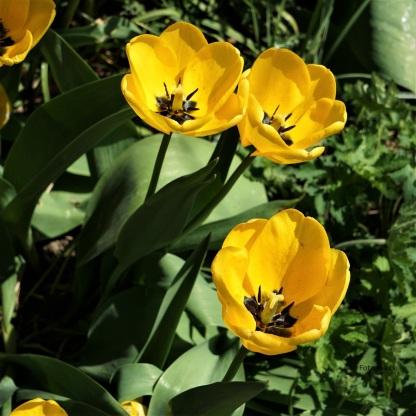 Tulpen Darwin-Hybriden