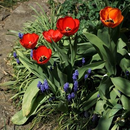 Tulpen Darwin-Hybriden und blaue Trauben-Hyazinthen