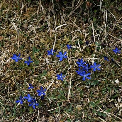 Frühlings-Enzian, Gentiana verna
