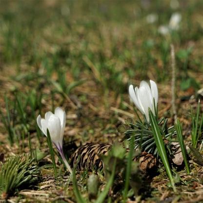 Frühlings-Krokus, Crocus albiflorus