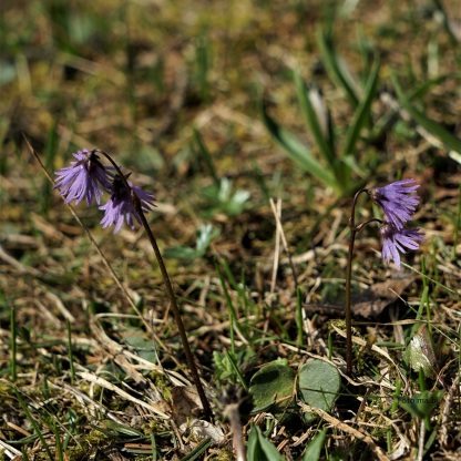 Alpenglöckchen, Soldanella alpina