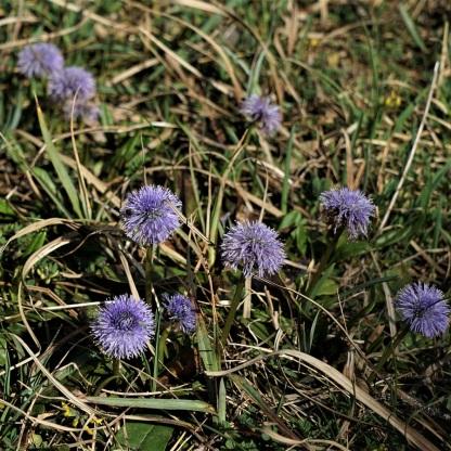 Nacktstängelige Kugelblume, Globularia nudicaulis