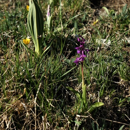 Männliches Knabenkraut, Orchis mascula