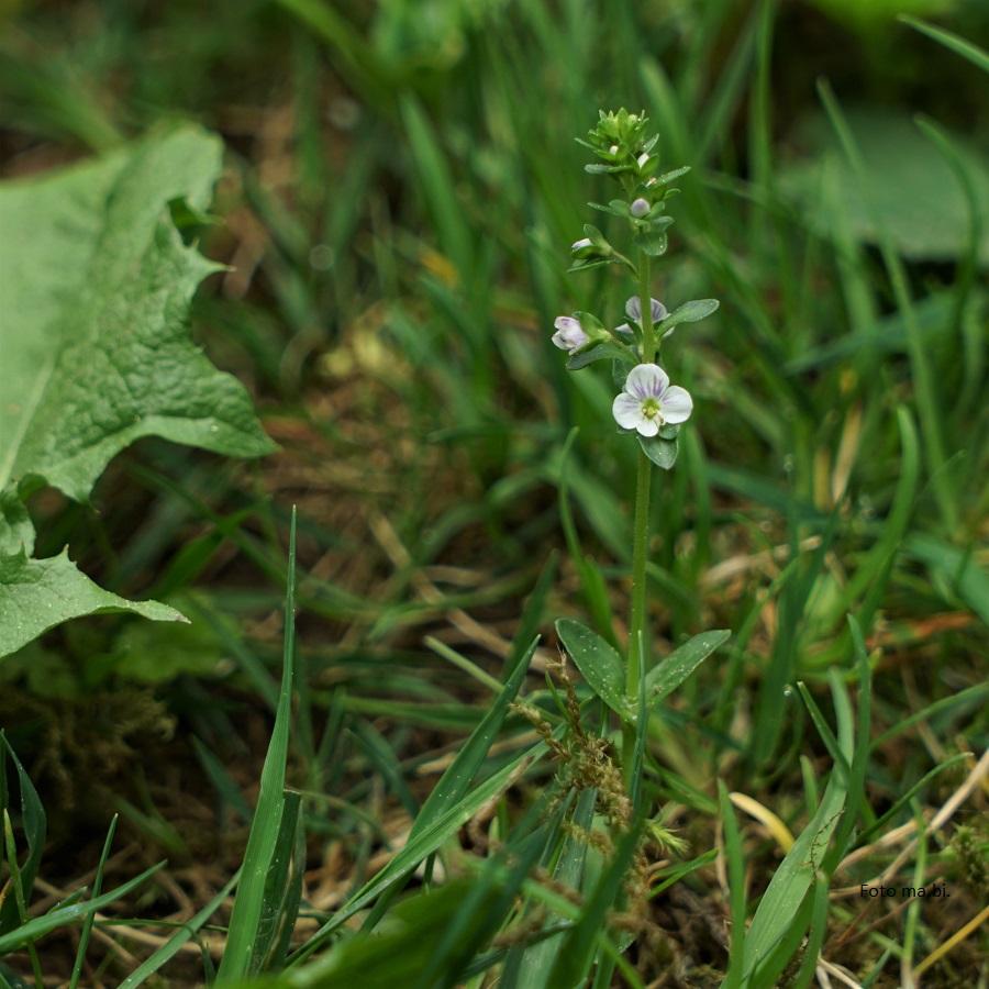 DSC06025 Veronica serpyllifolia Quendelblättriger Ehrenpreis Garten