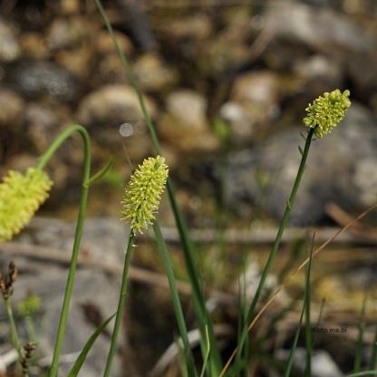 Simsenlilie, Tofielda calyculata