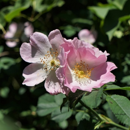 Rosa canina, Hundsrose