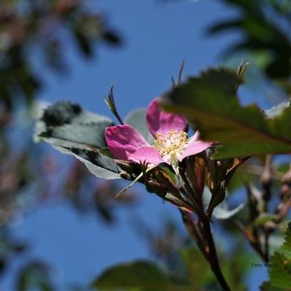 Rosa glauca, Hechtrose