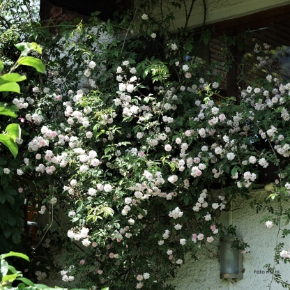 Rambler-Rose Pauls Himalayan Musk