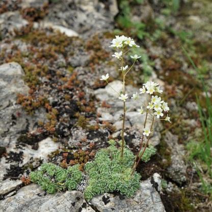Trauben-Steinbrech (Saxifraga villosum)
