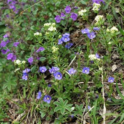Steingarten mit Ehrenpreis (Veronica fruticans), Alpen-Steinquendel (Acinos alpinus) u.a.