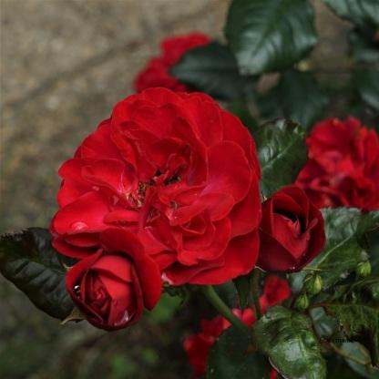 "Rose ""Mariandl"""