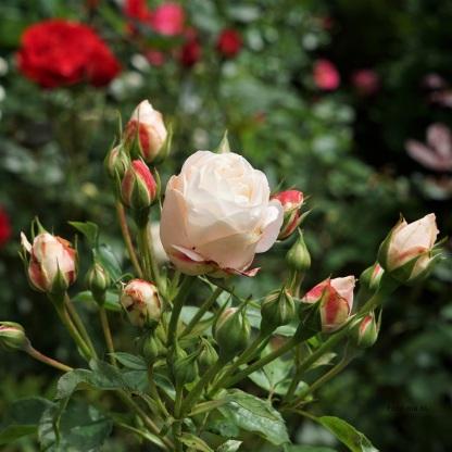 """Rose """"Fairy Queen"""""""
