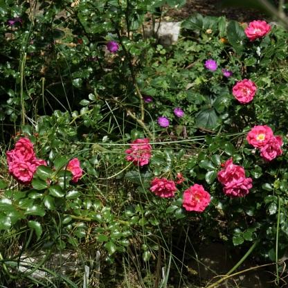 Bodendecker-Rose