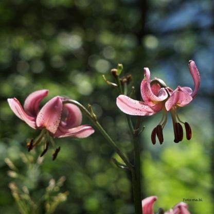 Türkenbund-Lilie (Lilium martagon)