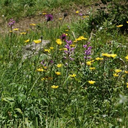 Rotes Waldvögelein (Cephalanthera rubra) und weidenblättriges Rindsauge (Buphthalmum salicifolium)