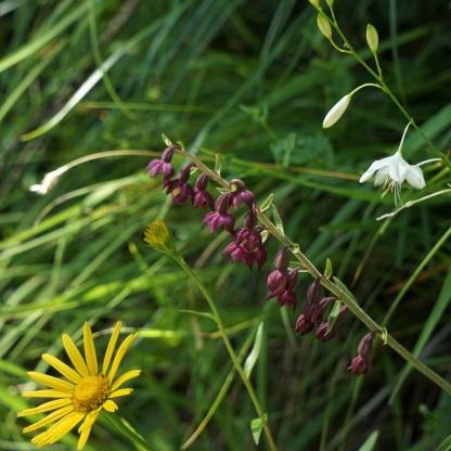 Braunrote Stendelwurz (Epipactis atrorubens)
