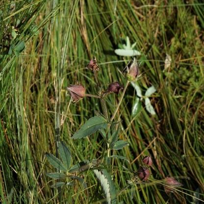 Sumpf-Blutauge (Potentilla palustris) verblüht