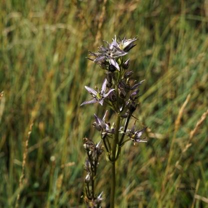 Tarant oder Moor-Enzian (Swertia perennis)